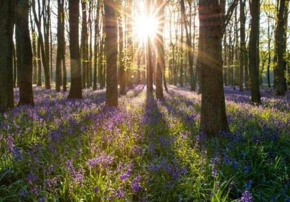 bluebells and sun